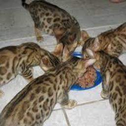 F3 bengal kittens for sale
